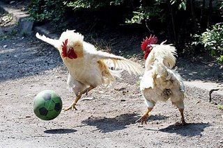 Chickens playing Political Football
