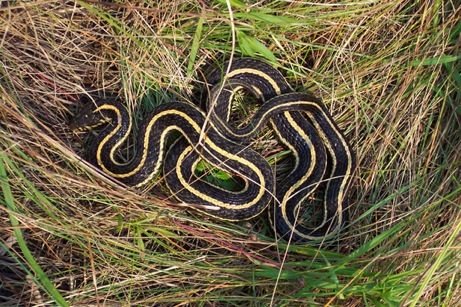 snake in the grass (public domain)